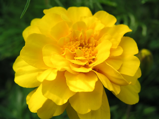 marigolds_02