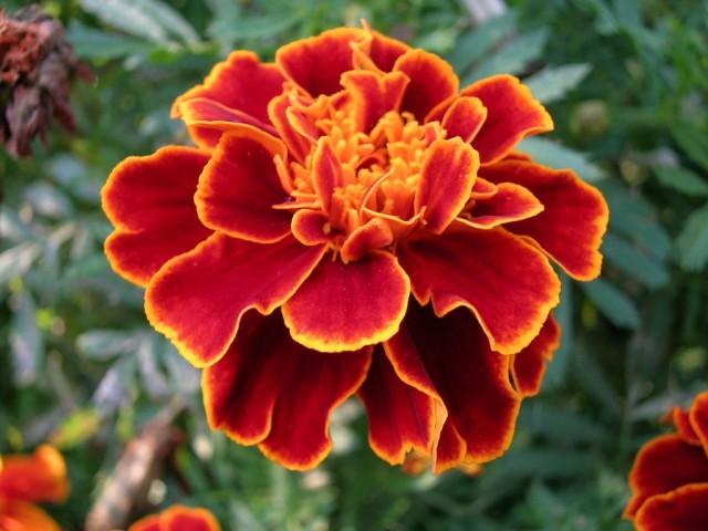 marigolds_03